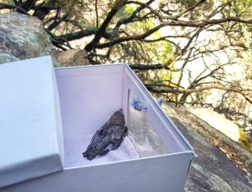 Martinet noir dans sa boite de sauvetage