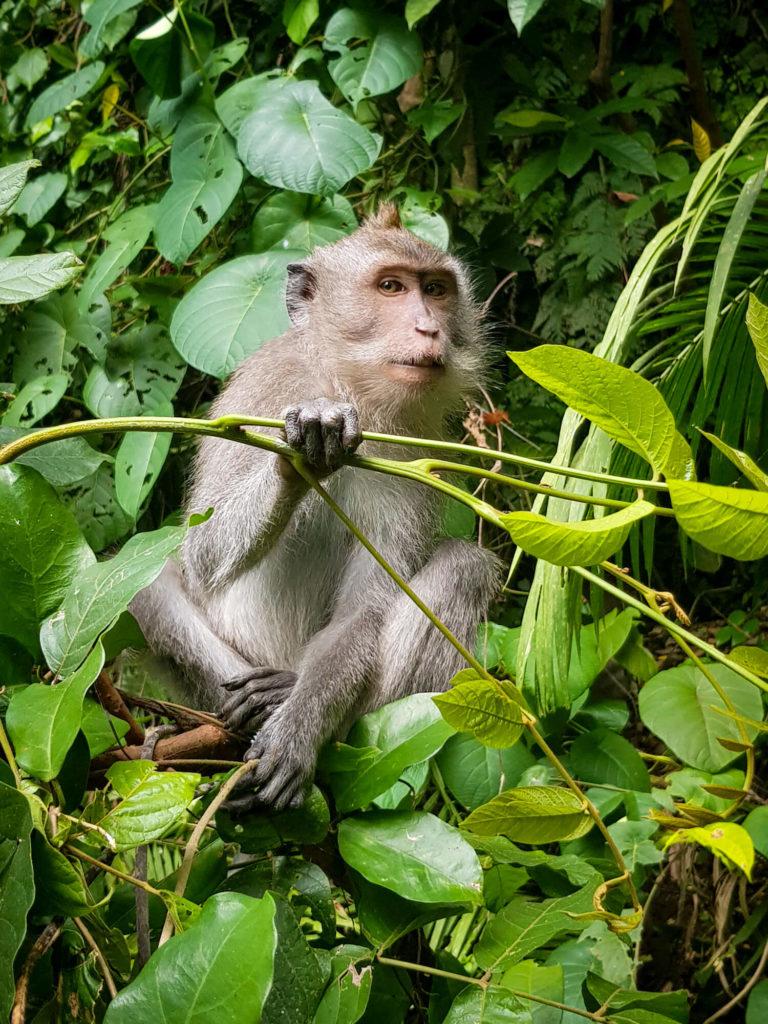 Singe à Monkey Forest, Ubud, Bali