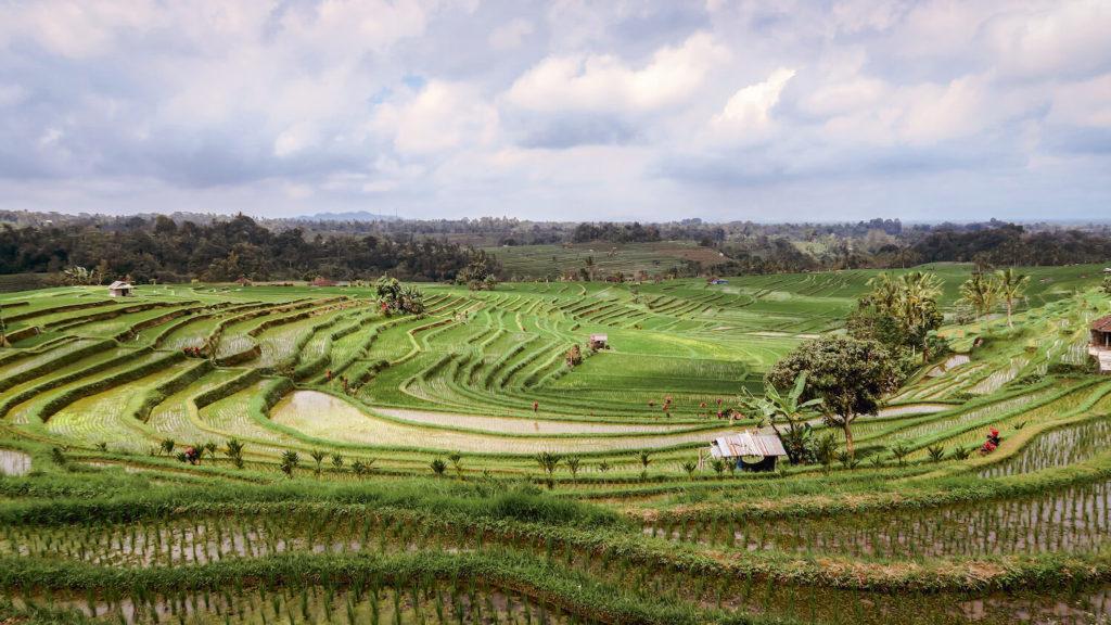 Les rizières de Jatiluwih à Bali dessinent des courbes harmonieuses qui s'intègre parfaitement au paysage