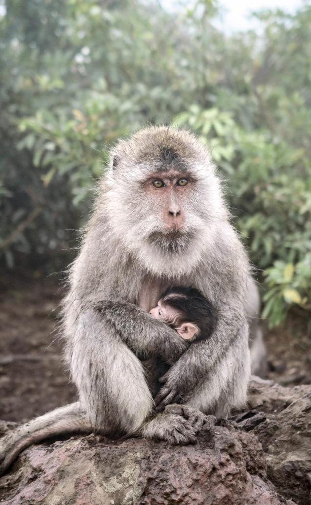 Maman singe et son petit sur les hauteurs du Mont Batur