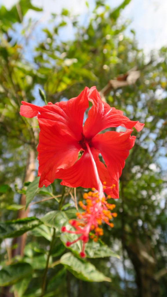 Fleur sauvage d'amaryllis rouge dans la région de Munduk