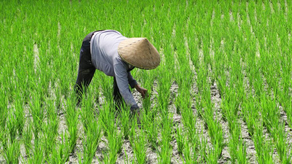 Villageoise au travail dans les rizières de Telgalalang