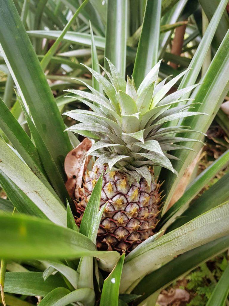 Ananas sur la plante à Bali