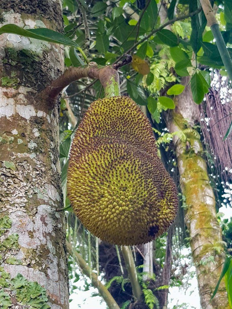 Fruit du Jacquier sur l'arbre à Bali