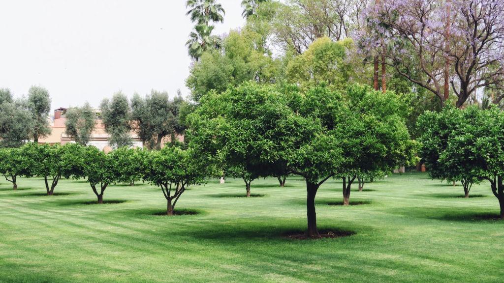 Oliveraie dans le jardin de la Mamounia, Marrakech