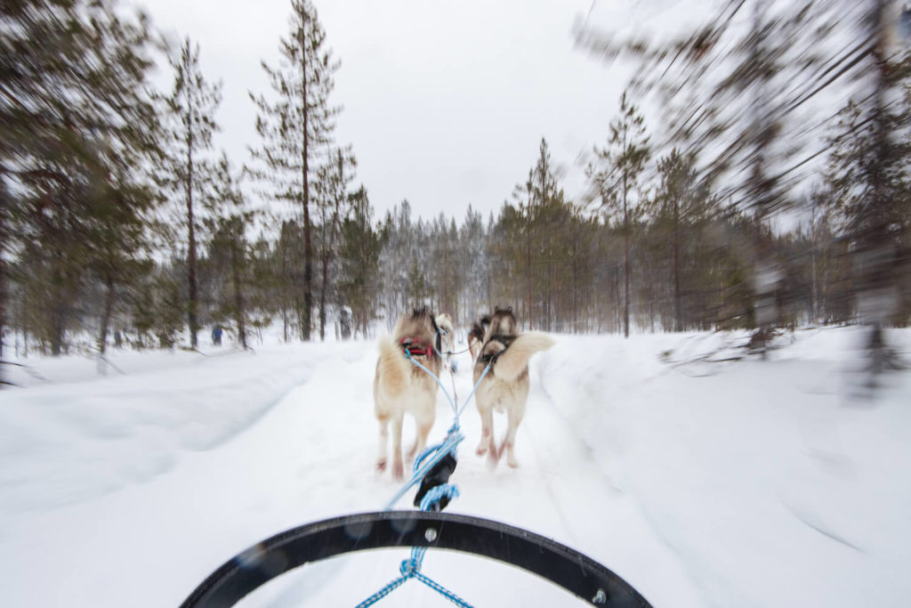 Chiens de traîneau, Laponie finlandaise