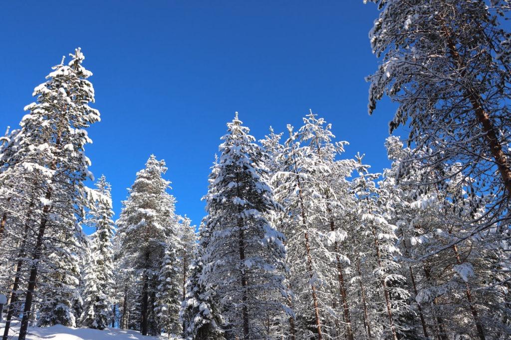 Forêt enneigée sous le soleil de Laponie