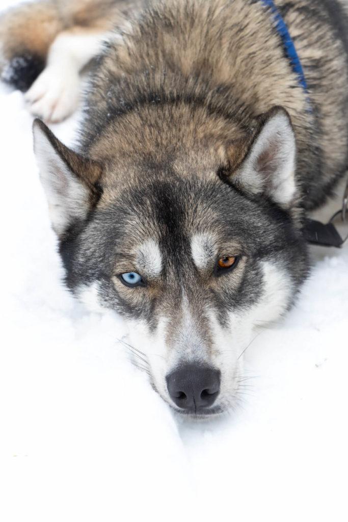 Husky aux yeux vairons