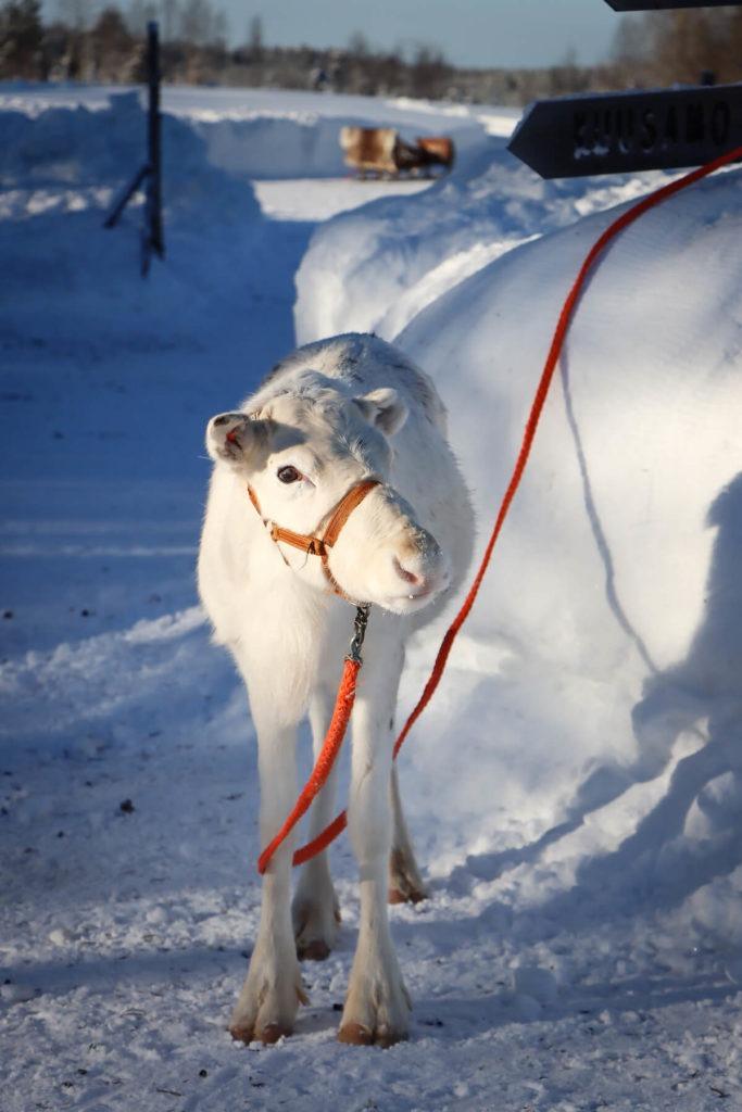 Jeune renne blanc de Laponie