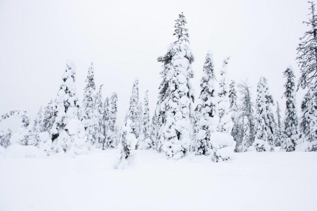 Sapins recouverts de neige en Laponie finlandaise