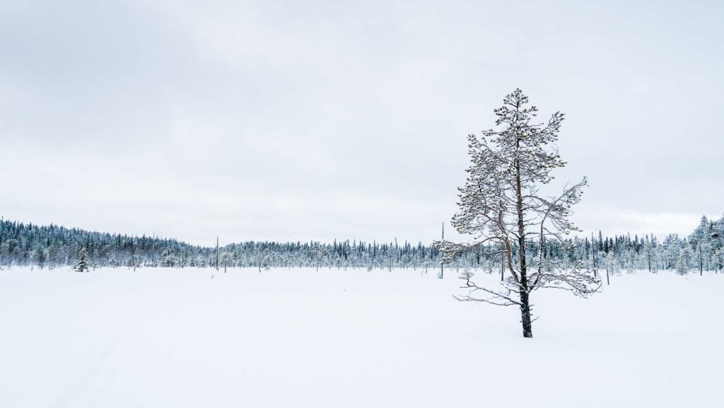 Arbre isolée sur étendue de neige, Laponie Finlandaise