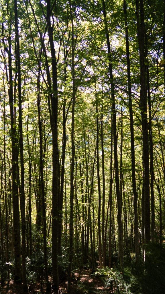 Forêt de bouleaux au Mont Aiguille