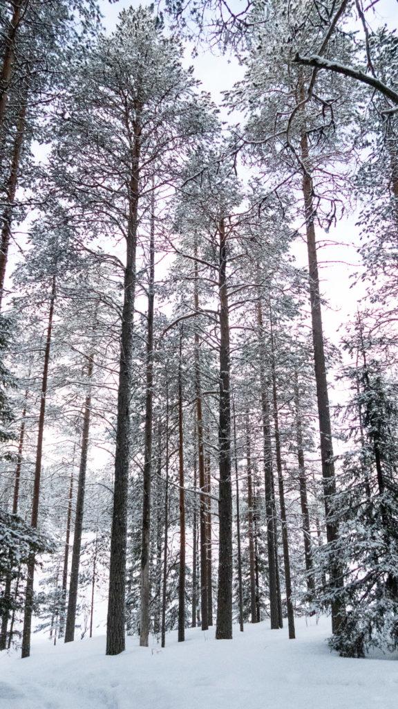 Sapins du parc national d'Oulanka, Laponie Finlandaise