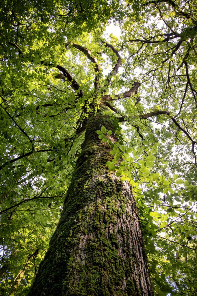 Un chêne de la forêt d'Huelgoat