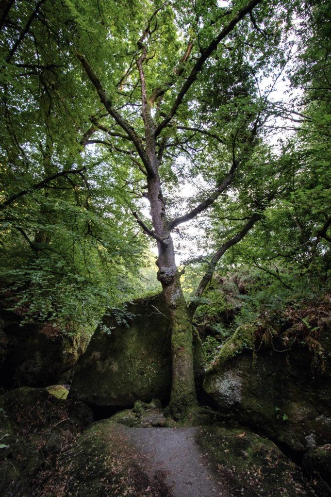 Arbre isolé avec rochers au pied dans la forêt d'Huelgoat