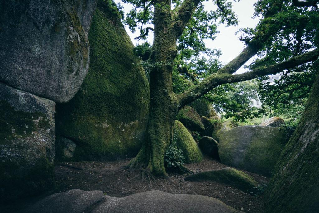 Chêne entouré de blocs rocheux dans la forêt d'Huelgoat