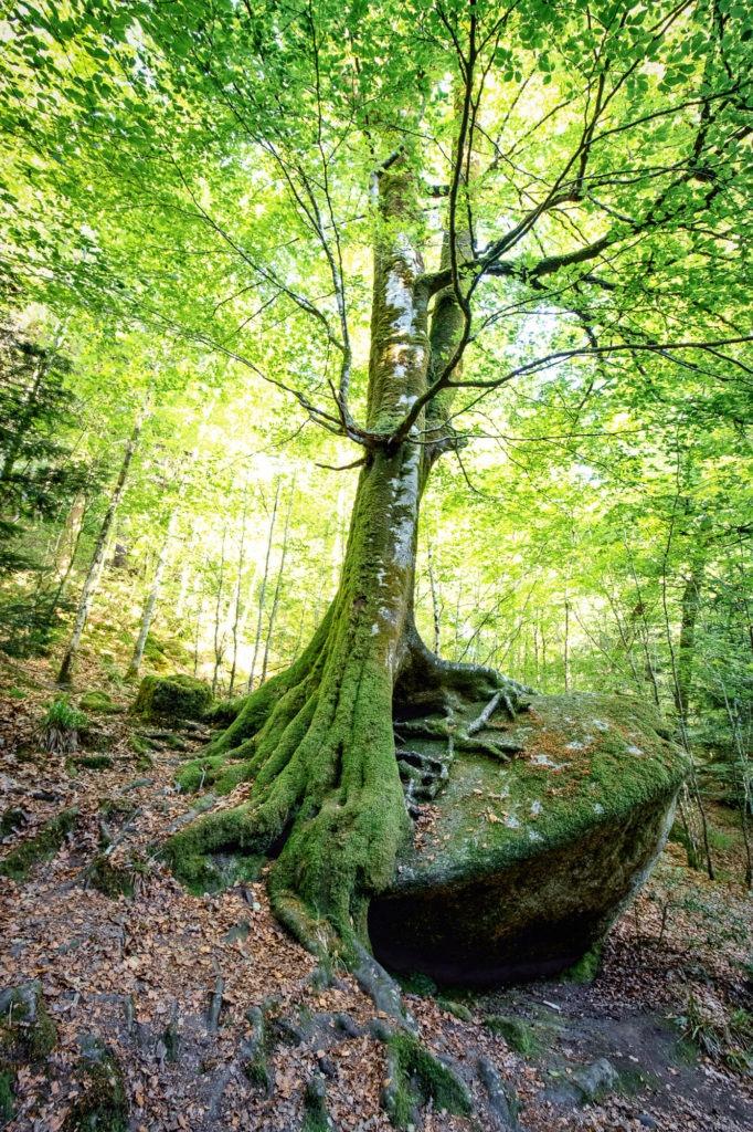 Arbre éclairé soleil avec ses racines noueuses