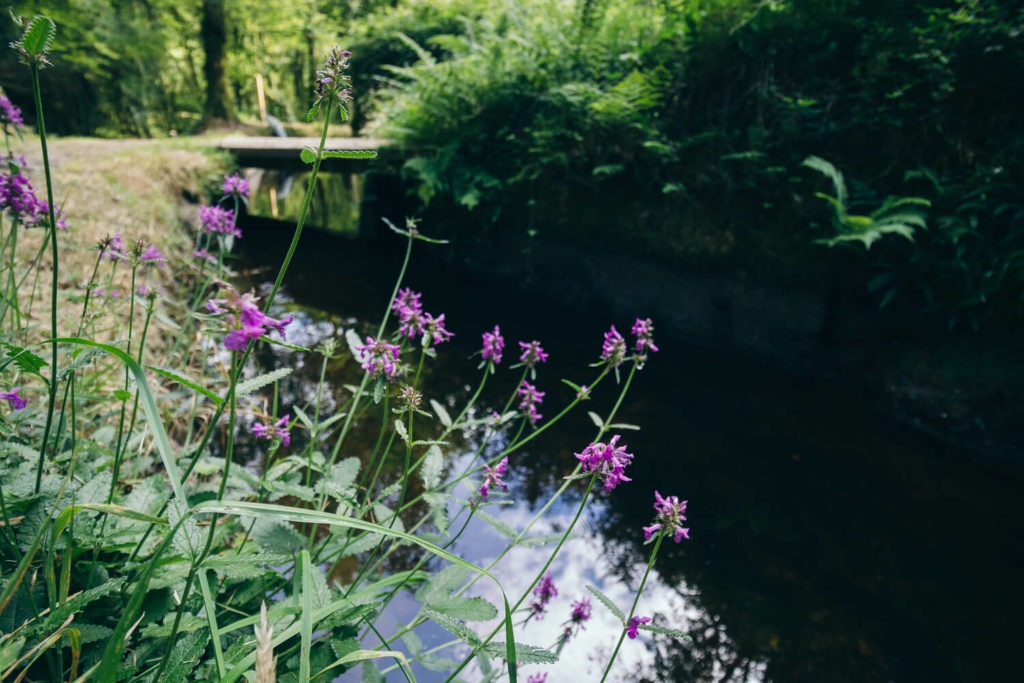 Fleurs violettes au bord du canal d'Huelgoat