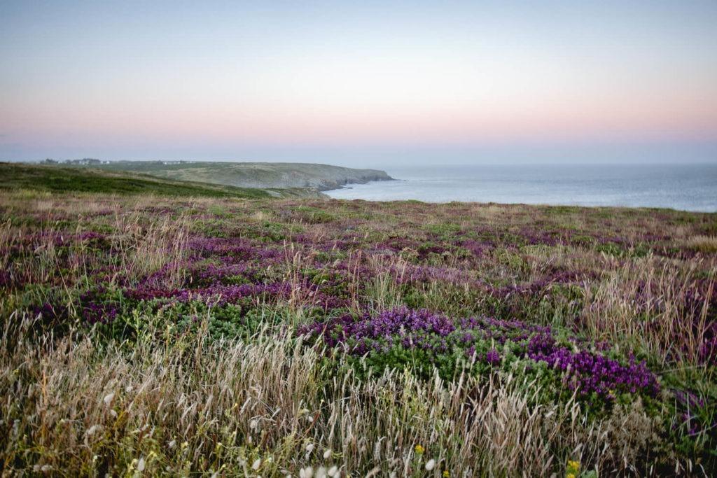 Lande et bruyères en fleur à la pointe du Raz, Bretagne