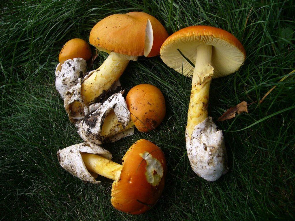L'amanite des Césars ou Oronge : le graal du ramasseur de champignons