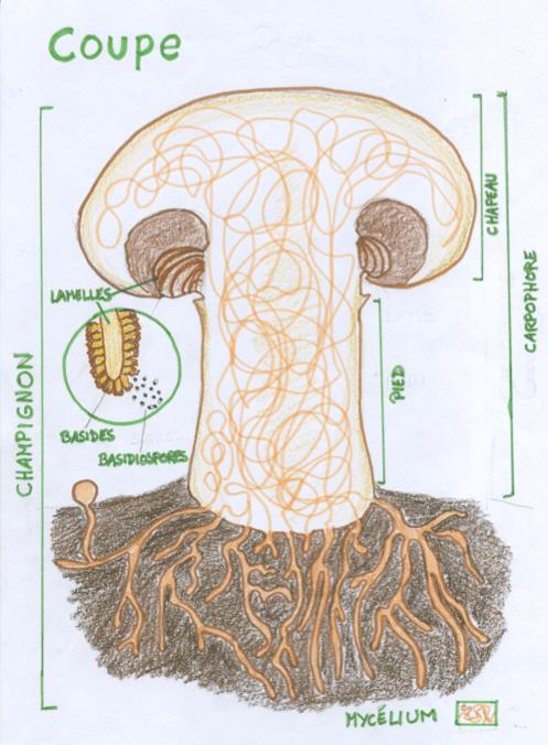 Dessin-schéma d'un champignon et son mycélium