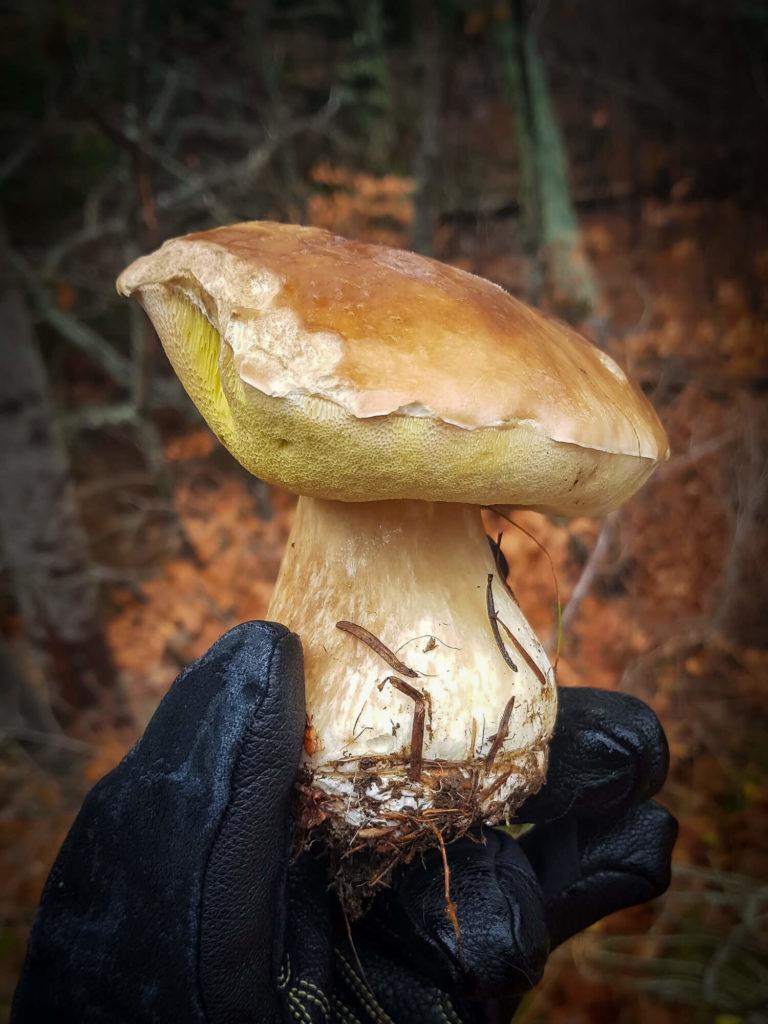 Splendide exemplaire de cèpe du châtaignier, un classique de la cueillette des champignons